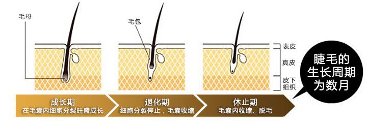 睫毛的生长周期